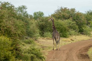 C16V8095_-_Giraffe.jpg