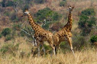 IMG_9832_-_Giraffe.jpg