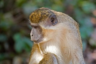 3T9P0922_-_Green_Monkey.jpg