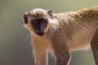 3T9P2124_-_Green_Monkey.jpg