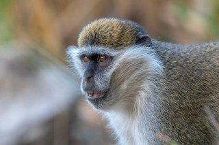2M3A3215_Grivet_Monkey.jpg