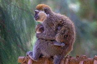 2M3A5556_-_Grivet_Monkey.jpg