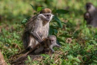 2M3A8674_-_Grivet_Monkey.jpg