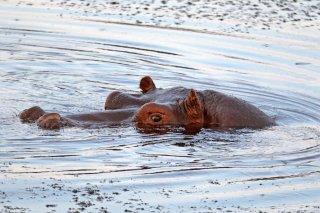 2M3A2546_-_Hippopotamus.jpg