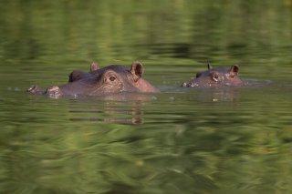 3T9P2357_-_Hippopotamus.jpg