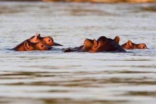 3T9P7763_-_Hippopotamus.jpg