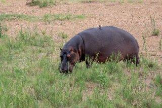 C16V8389_-_Hippopotamus.jpg