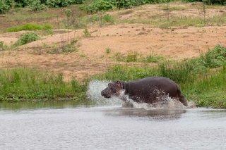 C16V8475_-_Hippopotamus.jpg