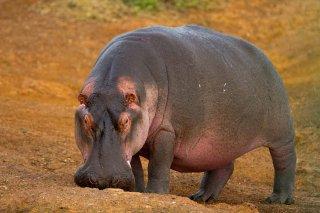 IMG_2827_-_Hippopotamus.jpg