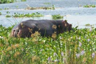 IMG_9747_-_Hippopotamus.jpg