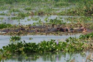 IMG_9781_-_Hippopotamus.jpg