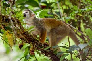 IMG_1393_Humboldts_Squirrel_Monkey.jpg