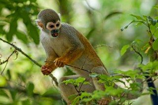 IMG_1395_-_Humboldts_Squirrel_monkey.jpg