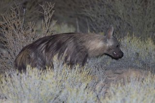 C16V0922_-_Brown_Hyaena.jpg