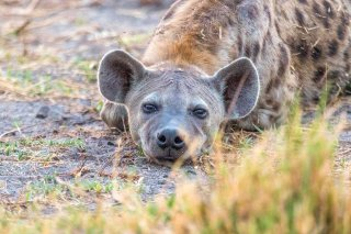 2M3A4269_-_Spotted_Hyena.jpg
