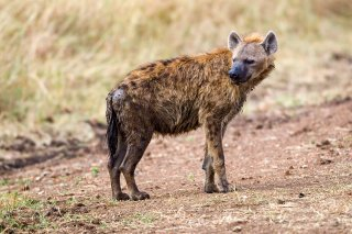3T9P8641_-_Spotted_Hyena.jpg