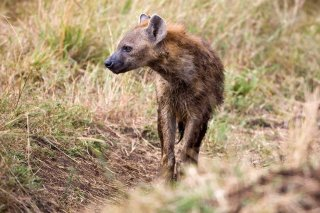 3T9P8646_-_Spotted_Hyena.jpg