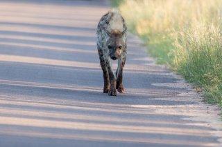 C16V3769_-_Spotted_Hyena.jpg