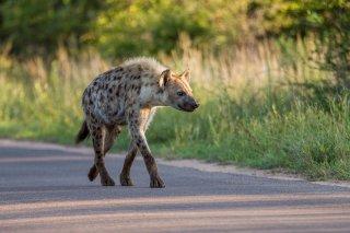 C16V3777_-_Spotted_Hyena.jpg