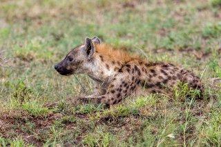 C16V7945_-_Spotted_Hyena.jpg