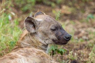 C16V7953_-_Spotted_Hyena.jpg