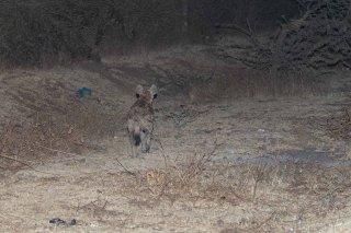 785A8442_-_Striped_Hyena.jpg