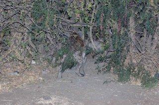 785A8443_-_Striped_Hyena.jpg