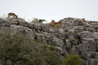 3T9P9410_-_Iberian_Ibex.jpg