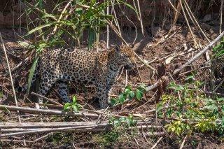 785A5397_-_Jaguar.jpg