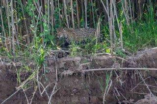 785A5508_-_Jaguar.jpg