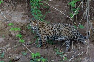 785A5596_-_Jaguar.jpg