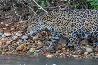 785A5618_-_Jaguar.jpg