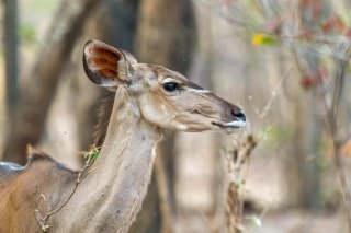 2M3A6417_-_Greater_Kudu.jpg
