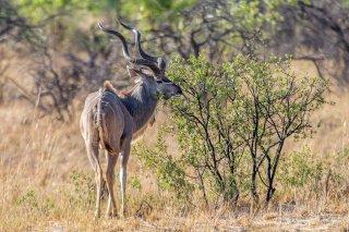 2M3A6607_-_Greater_Kudu.jpg