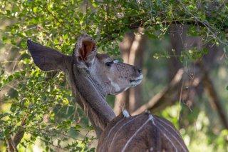 C16V6352_-_Greater_Kudu.jpg