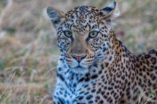 2M3A4490_-_Leopard.jpg