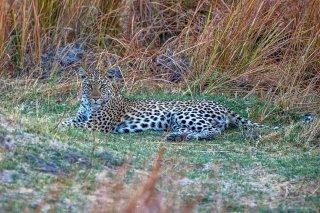 C16V3977_-_Leopard.jpg