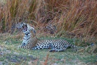 C16V3988_-_Leopard.jpg