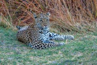 C16V4003_-_Leopard.jpg