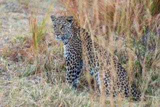 C16V4022_-_Leopard.jpg