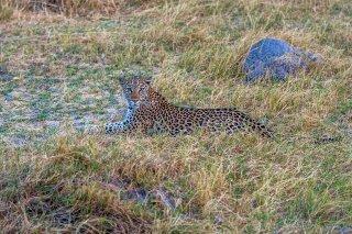 C16V4052_-_Leopard.jpg