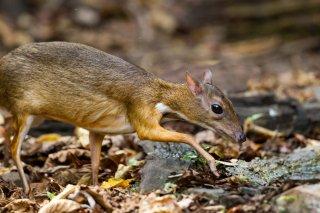 IMG_4763_-_Lesser_Mouse_Deer.jpg