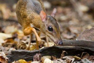 IMG_4816_-_Lesser_Mouse_Deer.jpg