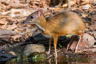 IMG_5867_-_Lesser_Mouse_Deer.jpg