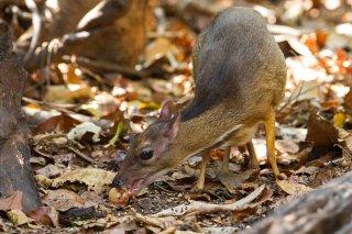 IMG_8686_-_Lesser_Mouse_Deer.jpg