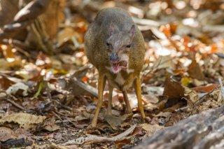 IMG_8691_-_Lesser_Mouse_Deer.jpg