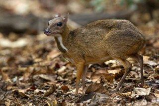 IMG_8881_-_Lesser_Mouse_Deer.jpg