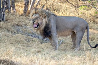 2M3A5094_-_Lion.jpg