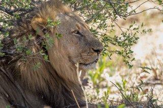 2M3A7075_-_Lion.jpg