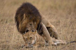 3T9P8486_-_Lion.jpg